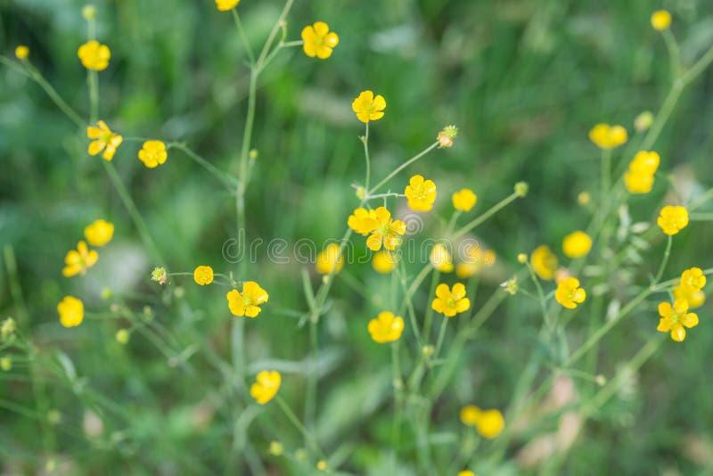 Flores amarillas del ranúnculo de prado imagen de archivo libre de regalías