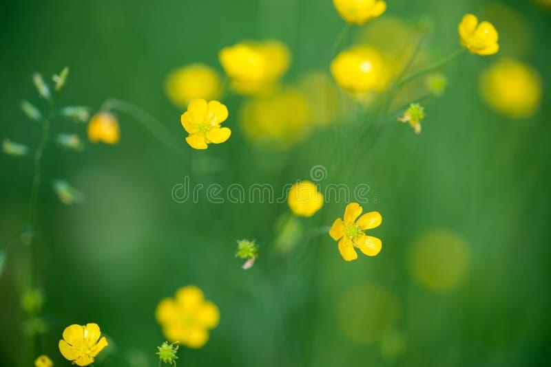 Flores amarillas del ranúnculo de prado foto de archivo libre de regalías