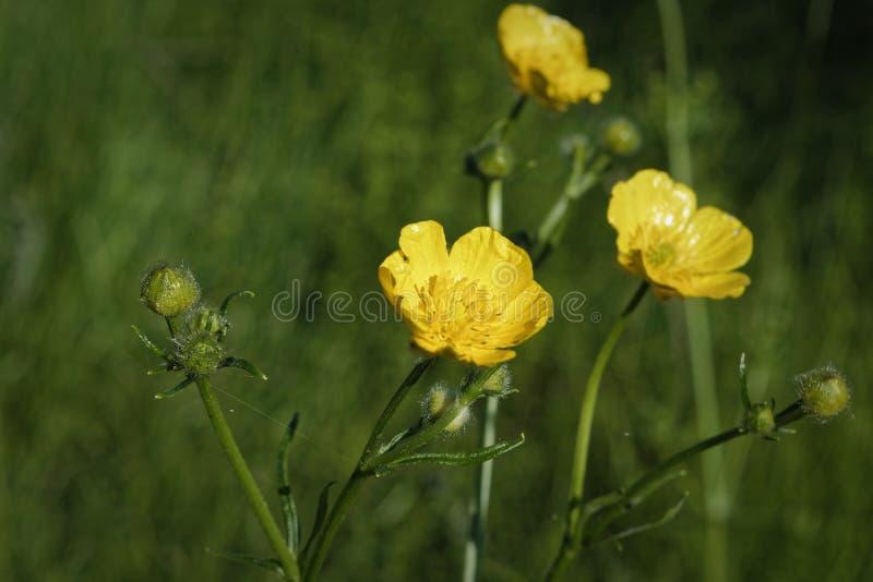 Flores amarillas del ranúnculo en un fondo borroso fotos de archivo libres de regalías