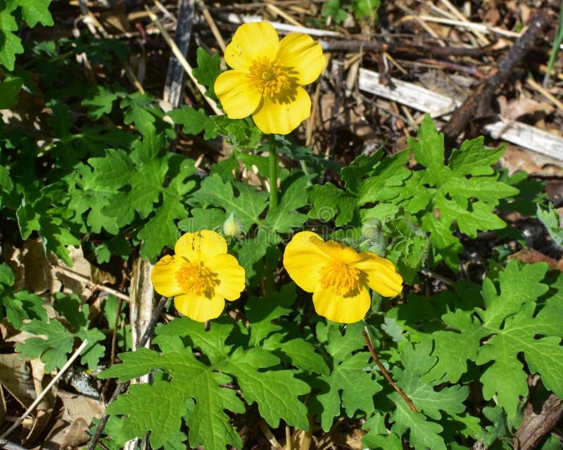 Flores amarillas del ranúnculo que florecen en medio de follaje verde foto de archivo