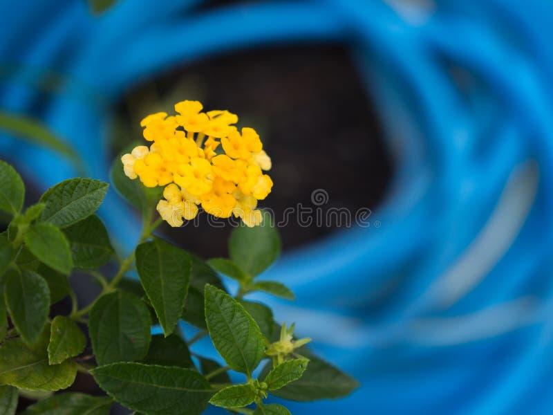 Flores amarillas del seto que florecen detrás de fondo azul imagenes de archivo