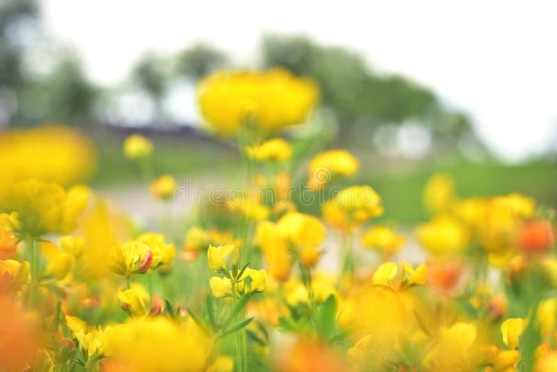 Flores amarillas del tiempo de primavera en prado imagenes de archivo