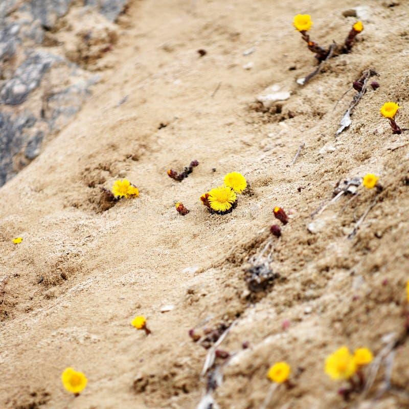 Flores amarillas en arena foto de archivo libre de regalías