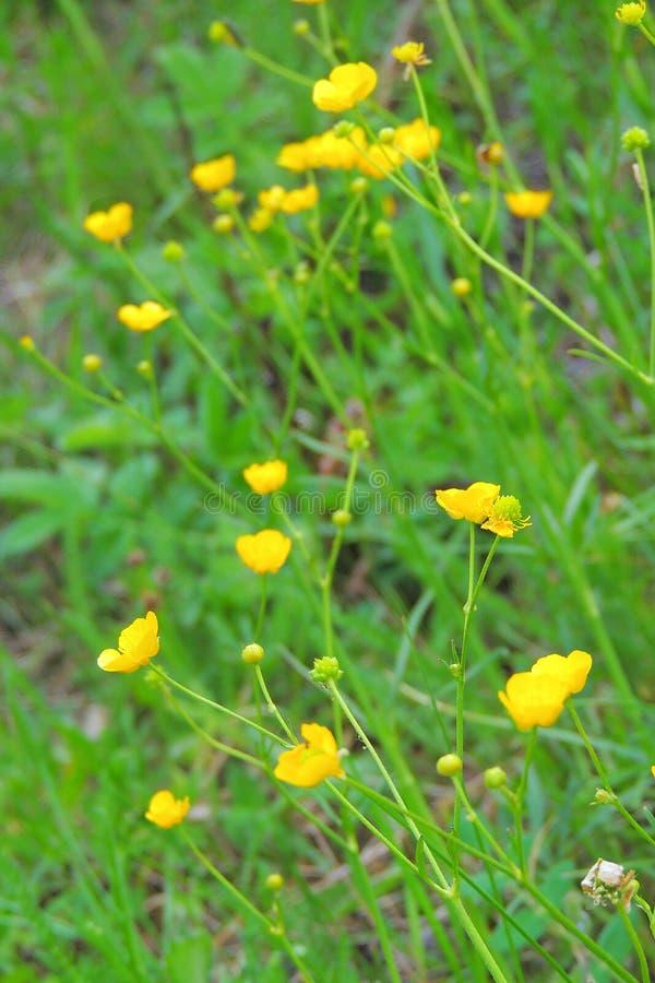 Flores amarillas en el campo imagen de archivo