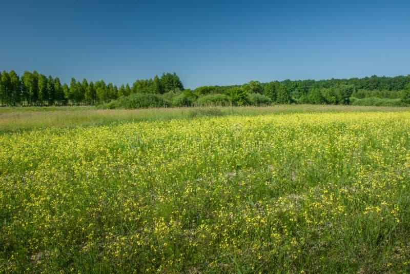 Flores amarillas en el campo, el bosque y el cielo azul fotografía de archivo