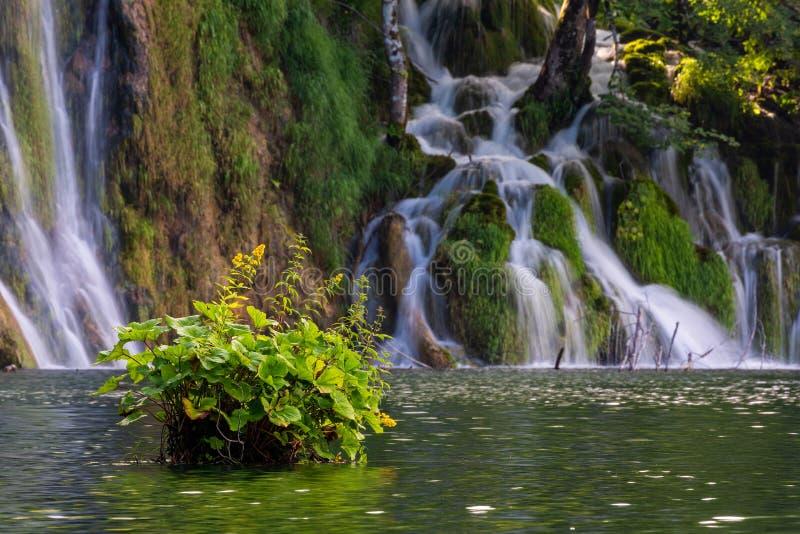 Flores amarillas en el lago y las cascadas en fondo, lagos parque nacional, Croacia Plitvice fotografía de archivo libre de regalías