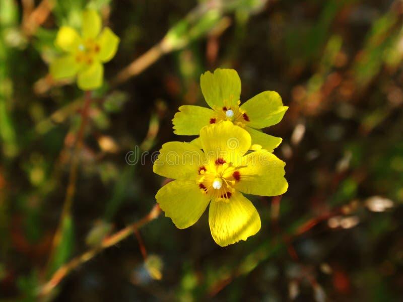 Flores amarillas en la hierba foto de archivo libre de regalías