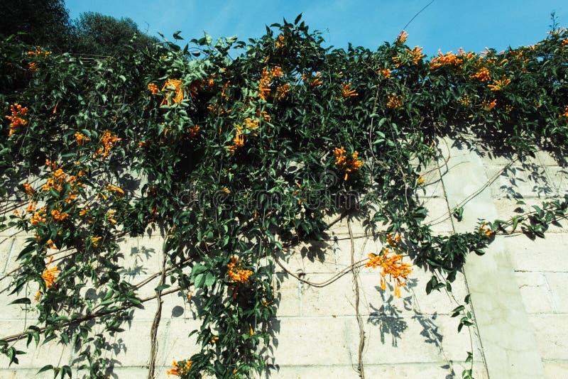 Flores amarillas en la pared fotos de archivo libres de regalías