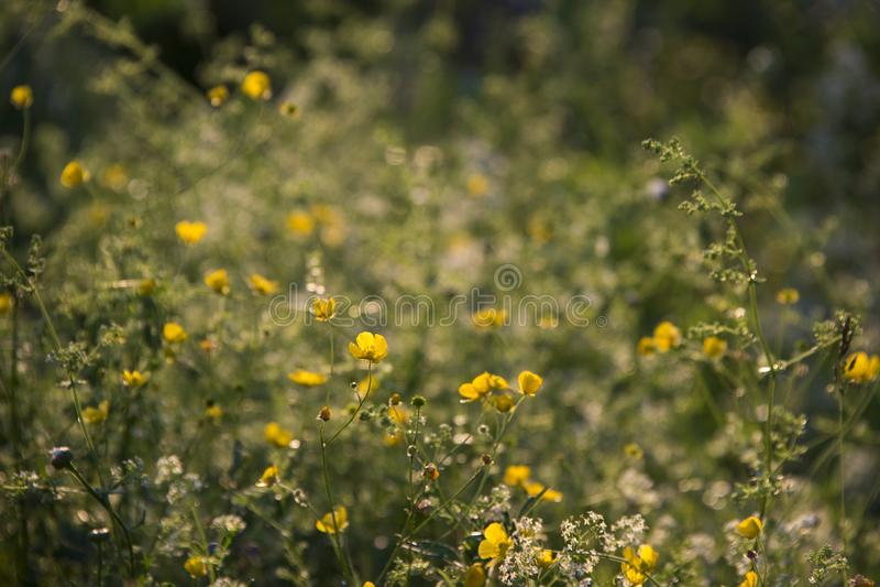 Flores amarillas en la puesta del sol que brilla intensamente imagenes de archivo
