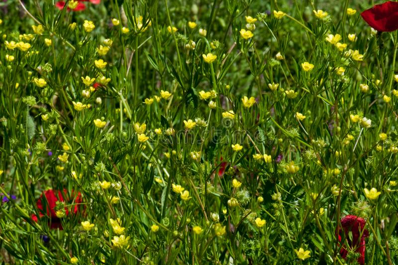 Flores amarillas en prado salvaje fotos de archivo