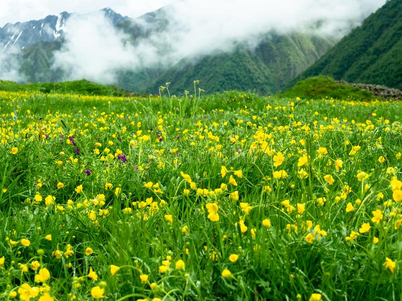 Flores amarillas en un fondo de montañas imagen de archivo libre de regalías