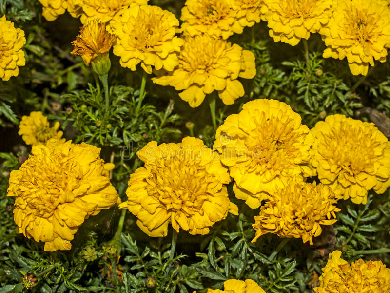 Flores amarillas en un jardín foto de archivo