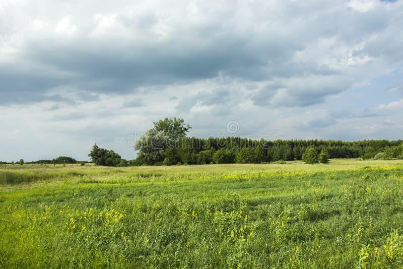 Flores amarillas en un prado grande cerca del bosque y de las nubes lluviosas oscuras foto de archivo libre de regalías