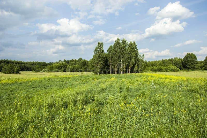 Flores amarillas en un prado verde grande fotos de archivo