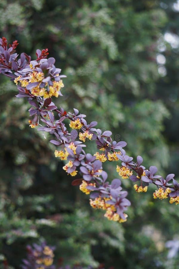 Flores amarillas en un rojo de Thunberg del Berberis de la rama fotos de archivo libres de regalías