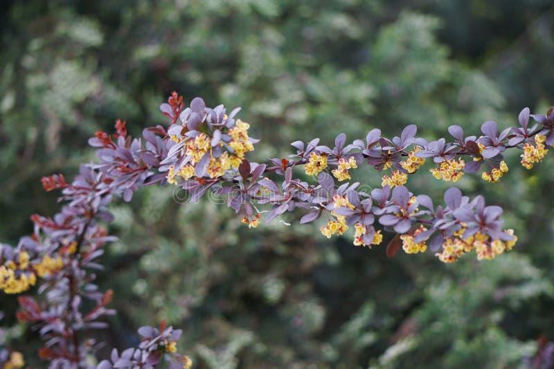 Flores amarillas en un thunbergii del Berberis de la rama imágenes de archivo libres de regalías