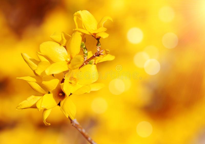 Flores amarillas. flor del arbusto de la forsythia en jardín en primavera imagen de archivo libre de regalías