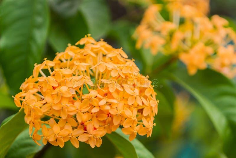 Flores amarillas florecientes de Ixora imágenes de archivo libres de regalías