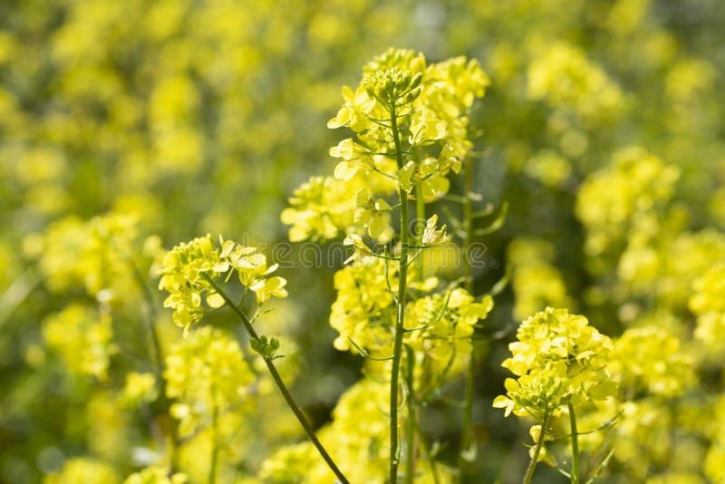 Flores amarillas florecientes de la mostaza del tiempo de primavera Esmirna/Turqu?a imágenes de archivo libres de regalías
