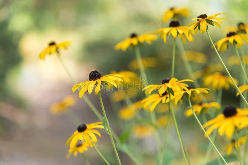 Flores amarillas florecientes de susans negro-observados con luz del sol caliente en fondo fotografía de archivo