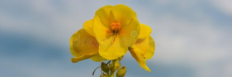 Flores amarillas florecientes del mullein en un prado contra el cielo azul fotos de archivo
