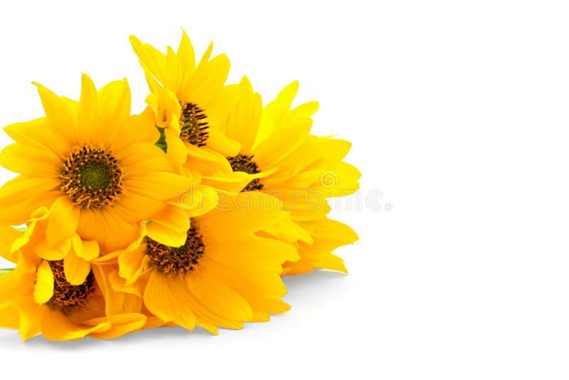 Flores amarillas frescas en el fondo blanco imagen de archivo libre de regalías