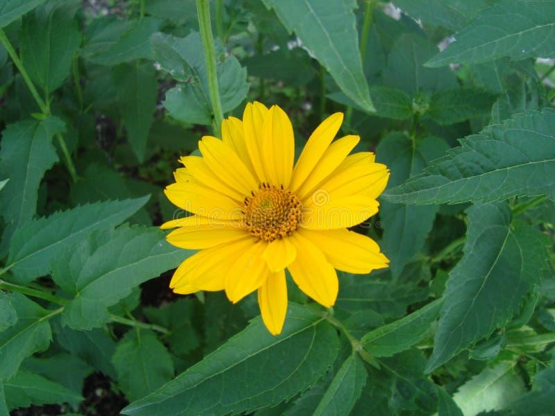 Flores amarillas grandes de los helianthoides del Heliopsis foto de archivo