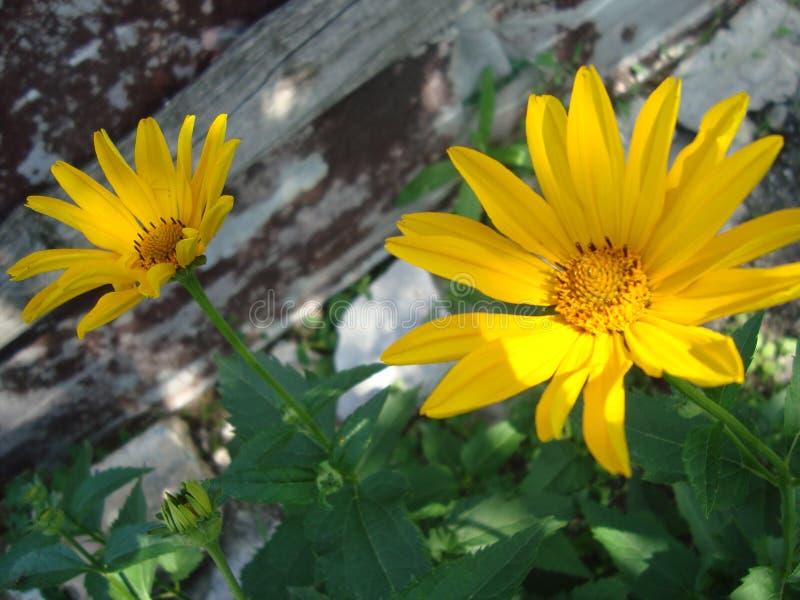 Flores amarillas grandes de los helianthoides del Heliopsis imagenes de archivo
