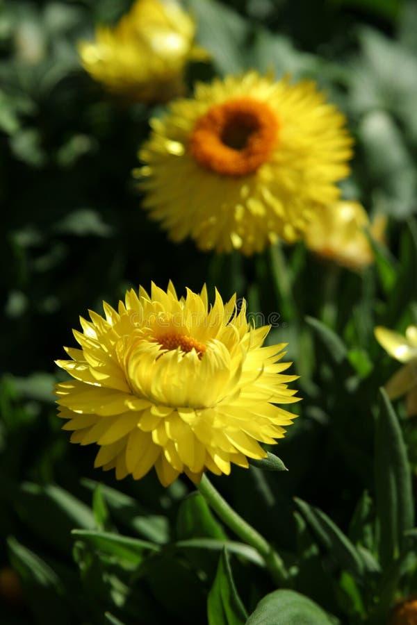 Flores amarillas hermosas foto de archivo libre de regalías