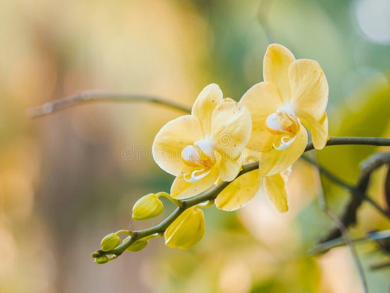 Flores amarillas hermosas de la orquídea que florecen en el jardín imagenes de archivo