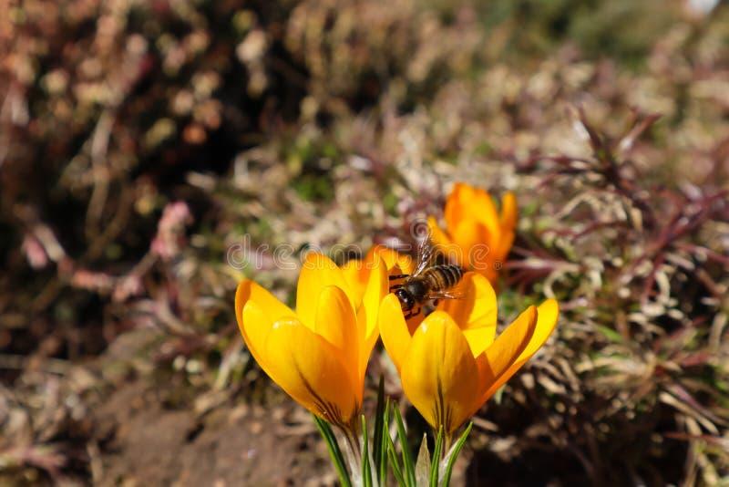 Flores amarillas hermosas del azafr?n con la abeja en jard?n de la primavera fotografía de archivo