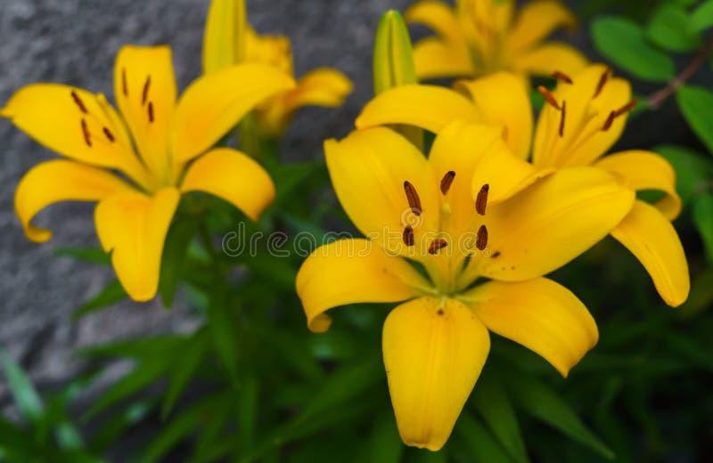 Flores amarillas hermosas del lirio en el jardín del verano fotos de archivo libres de regalías