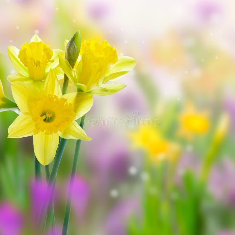 Flores amarillas hermosas del narciso imagen de archivo