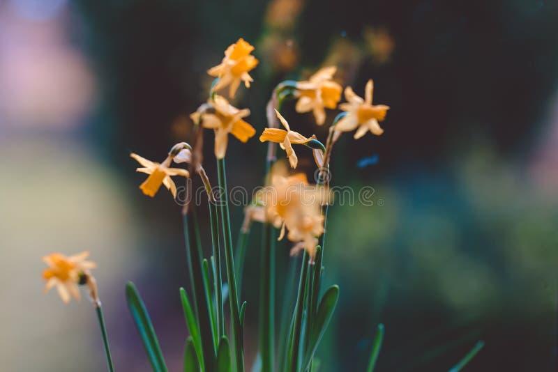 Flores amarillas hermosas del narciso en pote en el alféizar fotos de archivo libres de regalías