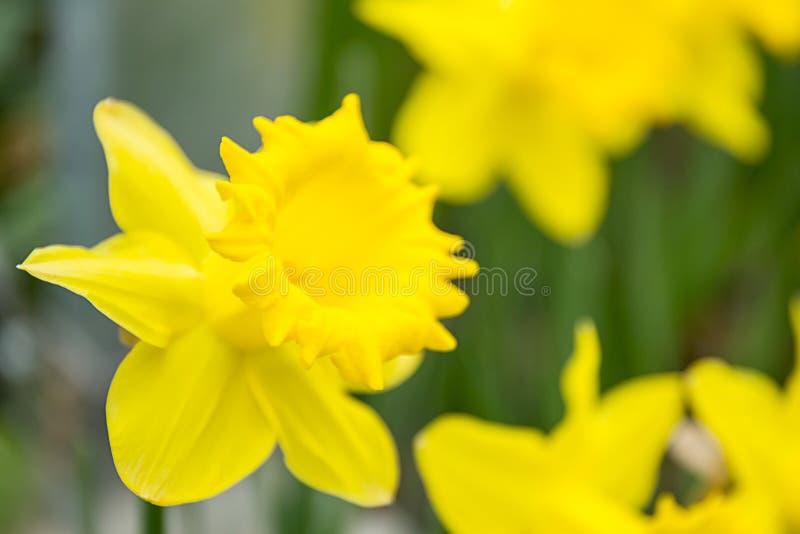 Flores amarillas hermosas del narciso o del narciso Pequeño DOF imagen de archivo