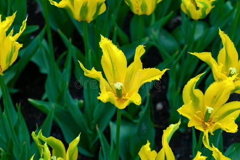 Flores amarillas hermosas del tulipán con los pétalos acentuados en jardín de la primavera fotografía de archivo