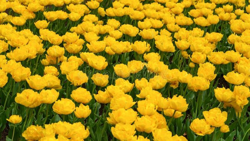 Flores amarillas hermosas del tulipán en jardín de la primavera foto de archivo