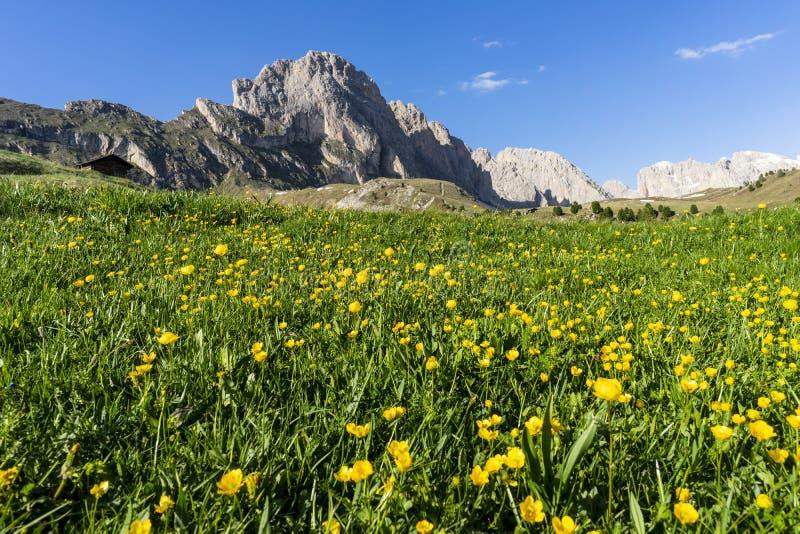 Flores amarillas hermosas en el fondo del Seceda Cordillera en dolomías, Italia de Odle foto de archivo libre de regalías