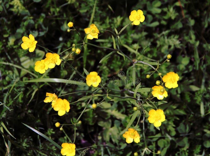 Flores amarillas hermosas en el prado fotos de archivo