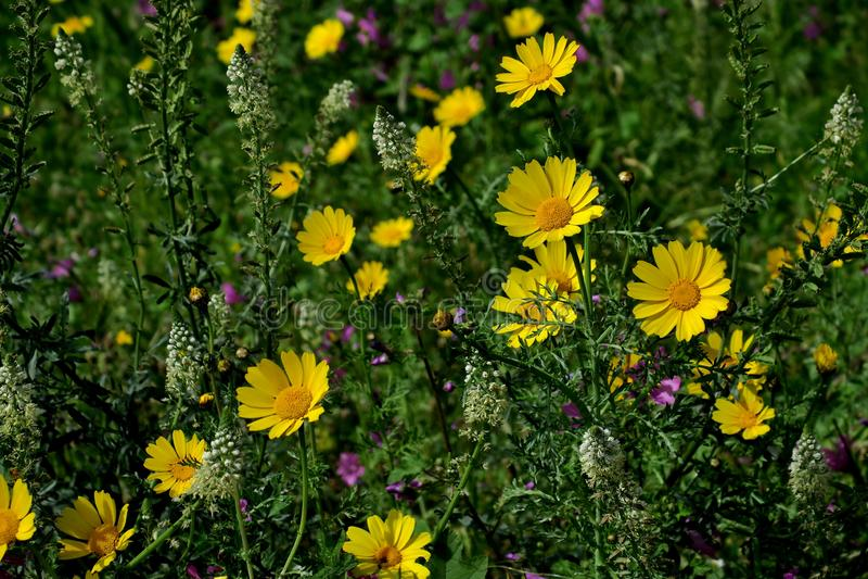 Flores amarillas hermosas en el primer del bosque foto de archivo libre de regalías