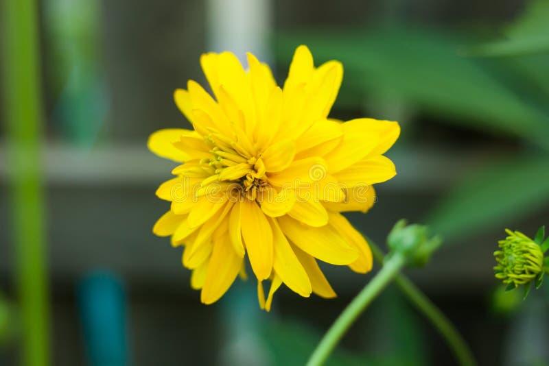 Flores amarillas hermosas, fondo de la naturaleza El laciniata del Rudbeckia, llamó comúnmente el coneflower del cutleaf o la bol fotos de archivo