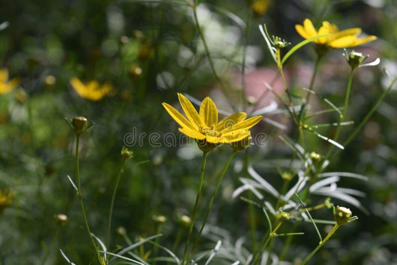 Flores amarillas magníficas del Coreopsis que florecen en un jardín imágenes de archivo libres de regalías
