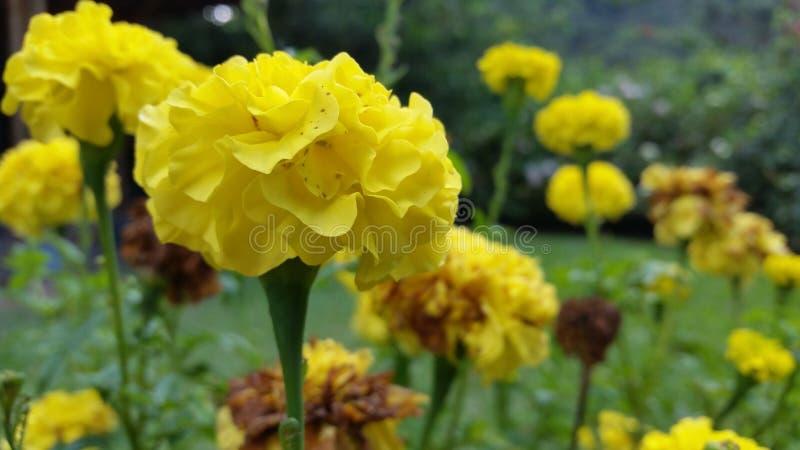 Flores amarillas otra vez imagen de archivo libre de regalías
