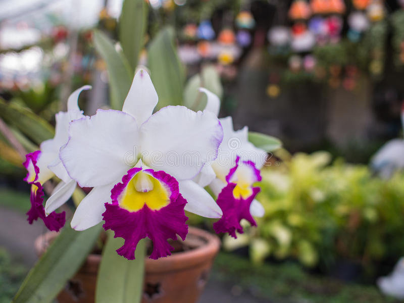 Flores amarillas púrpuras blancas de la orquídea de Cattleya fotos de archivo
