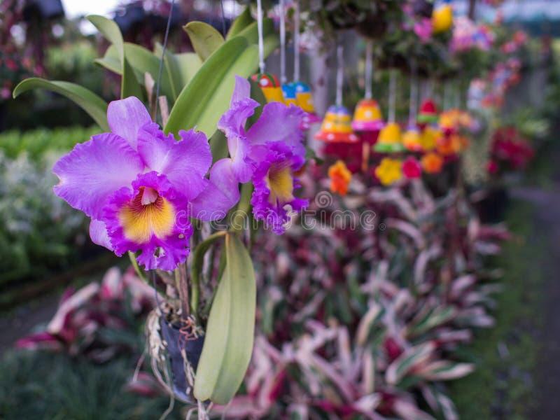 Flores amarillas púrpuras de la orquídea de Cattleya imagenes de archivo