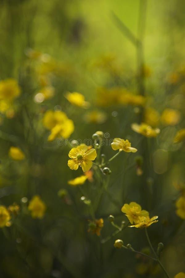Flores amarillas que florecen en sol con el fondo verde imagenes de archivo