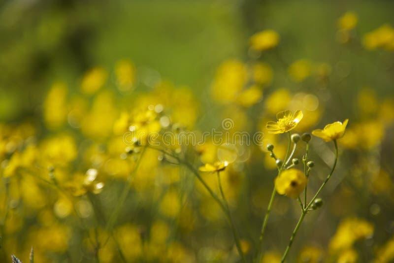 Flores amarillas que florecen en sol con el fondo verde imagen de archivo libre de regalías