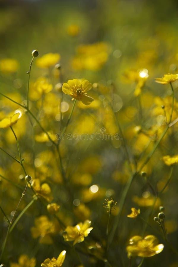 Flores amarillas que florecen en sol con el fondo verde fotos de archivo libres de regalías