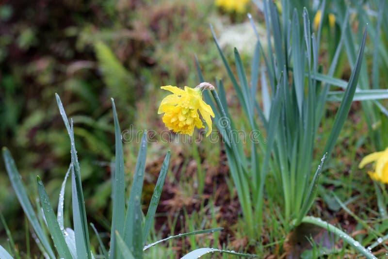 Flores amarillas salvajes grandes hermosas después de una lluvia fotografiada en Madeira fotografía de archivo