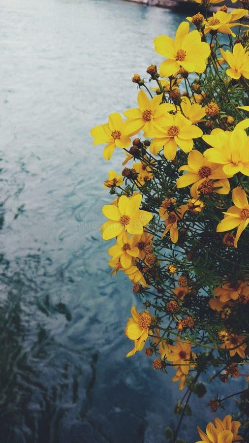 Flores amarillas sobre el lago de la ciudad de Basilea, Suiza imagenes de archivo